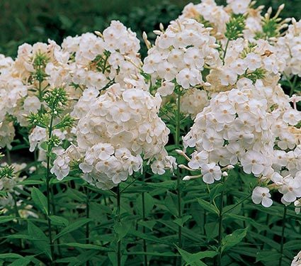 Phlox paniculata david white flower farm mightylinksfo