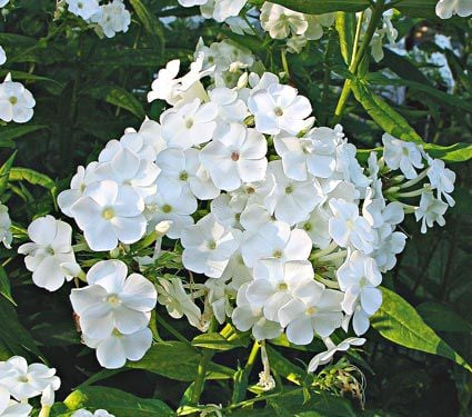 Phlox paniculata david white flower farm mightylinksfo Choice Image
