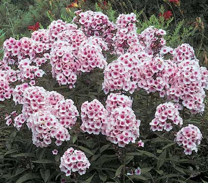 Phlox paniculata Bright Eyes