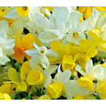 Fragrant Triandrus Narcissus Mix