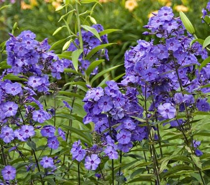10 Best Perennials For Late Summer Harmony Hills Home