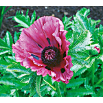 Papaver Patty's Plum