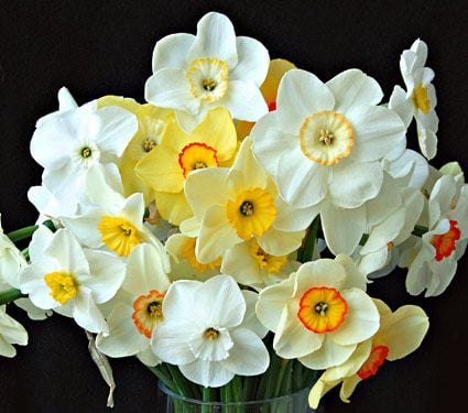 Small-Cupped Narcissus Mix