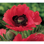 Papaver orientale 'Watermelon'
