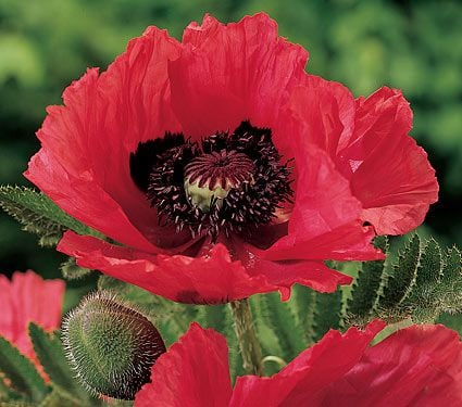 Papaver orientale Watermelon