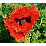 Papaver 'Doubloon'