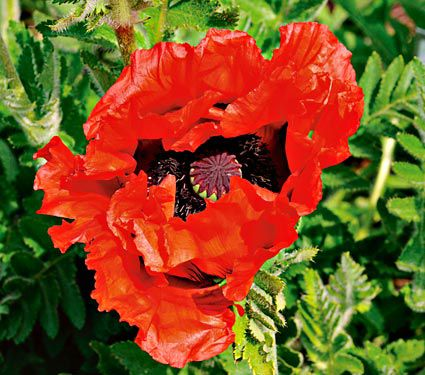 Papaver Doubloon