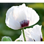 Papaver 'Snow White'