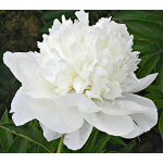 Paeonia White Towers