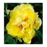 Peony Yellow Crown