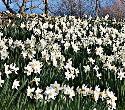 White Welcome Narcissus Mixture