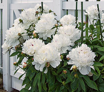 Peonies Amp Peony Planting Guide White Flower Farm