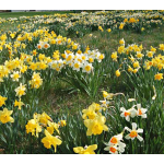 Professional's Naturalizing Daffodil  Mix