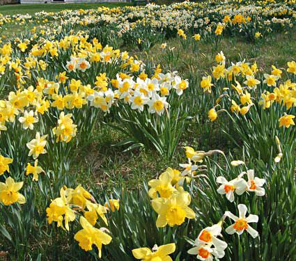 Professional S Naturalizing Daffodil Mix