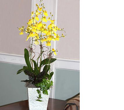 Exclusive Oncidium Sweet Sugar