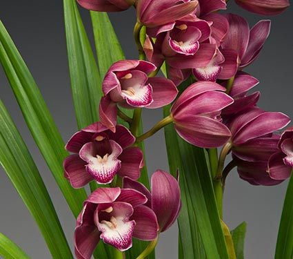 Exclusive Burgundy-Red Cymbidium Orchid in woven basket