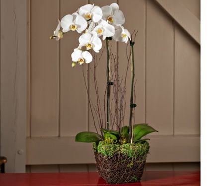 White Moth Orchid Garden in 6½