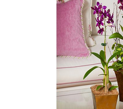 Deep Purple Dendrobium in 5