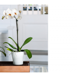 White Moth Orchid in 5