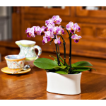 Purple-and-white Mini Moth Orchids in 5½