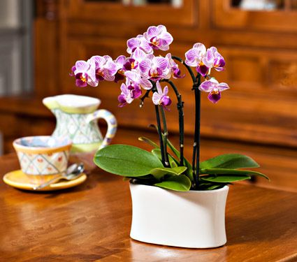 2 purple-and-white Mini Moth Orchids in 5½″ ceramic cachepot