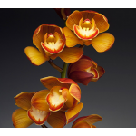 Exclusive Sunset Cymbidium Orchid in 6