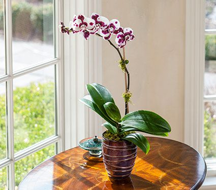 Purple-Spotted Moth Orchid in 5