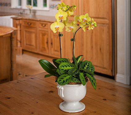 2 Yellow Moth Orchids in 7