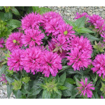 Monarda didyma Grand Parade™