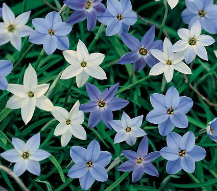 Ipheion A Constellation of Blue Stars