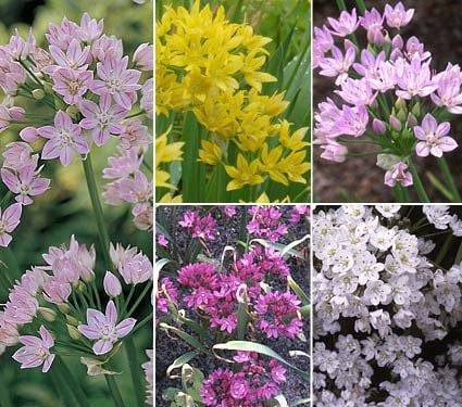 A big mix of little alliums white flower farm a big mix of little alliums mightylinksfo
