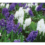 Hyacinthus orientalis Smooth Sailing Mix
