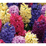 Fragrant Bulb Varieties
