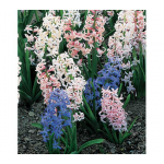 Festival Multiflowering Hyacinth Mix