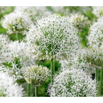 Allium stipitatum 'White Giant'