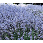 Lavender 'Violet Intrigue'