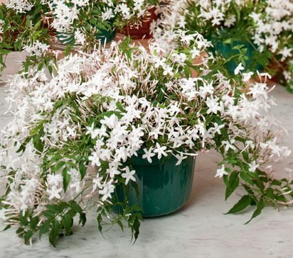 jasmine plant in a hanging pot jasmine flower white. Black Bedroom Furniture Sets. Home Design Ideas