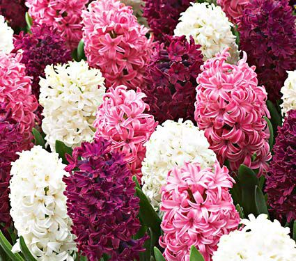 Rubies and Pearls Hyacinth Mix