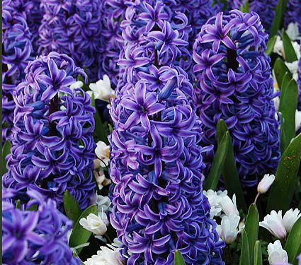 Hyacinthus Blue Jacket