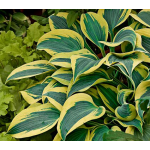 Hosta Shadowland™ Autumn Frost