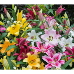 Ovation Large-Flowering Orienpet Lily Mix