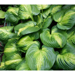 Hosta 'Cathedral Windows'