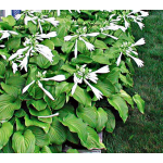 Hosta plantaginea 'Aphrodite'
