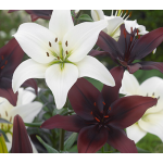 Black Tie Asiatic Lily Mix