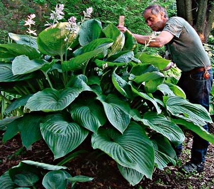 Hosta Shadowland™ Empress Wu