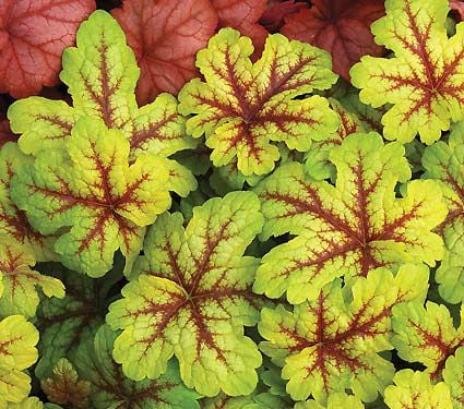 x Heucherella Alabama Sunrise