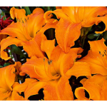 Hemerocallis (Daylily) Rainbow Rhythm® 'Primal Scream'