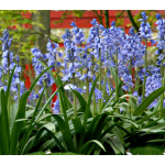 Hyacinthoides hispanica 'Excelsior'