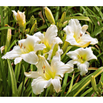 Hemerocallis Lady™ Elizabeth - Reblooming