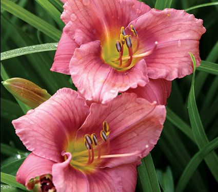 Hemerocallis (Daylily) 'Rosy Returns' - Reblooming
